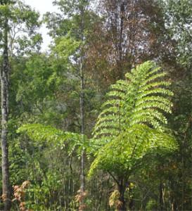 Giant Fishtail Palm Doi Phu Kha Nan Thailand